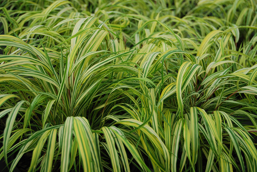 Ornamental grasses that tolerate shade 100 images for Shade decorative grass