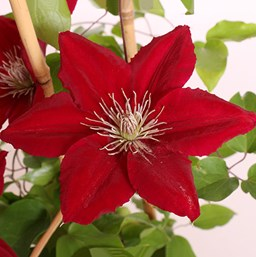 Clematis 'Rebecca'