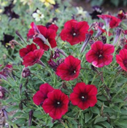 Petunia 'Crazytunia Red Blues'