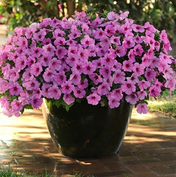 Petunia 'Easy Wave Pink Passion'