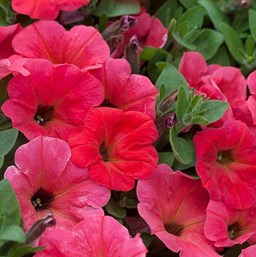 Petunia 'Hells Fruit Punch'