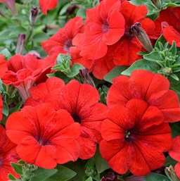 Petunia 'Littletunia Red Fire'