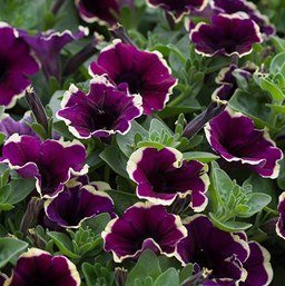 Petunia 'Moonlight Bay'