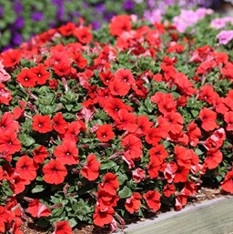 Petunia 'Potunia Hot Orange'