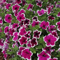 Petunia 'Saguna Purple with White'