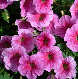 Petunia 'Success Pink Vein'