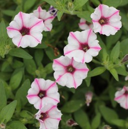 Petunia 'Supertunia Pink Star Charm'