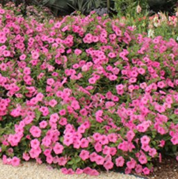 Petunia 'Supertunia Vista Bubblegum'