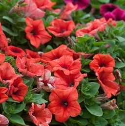 Petunia 'Sweetunia Orange Flash'