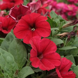 Petunia 'Tidal Wave Red Velour'